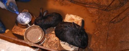 Кроликов в яме топит