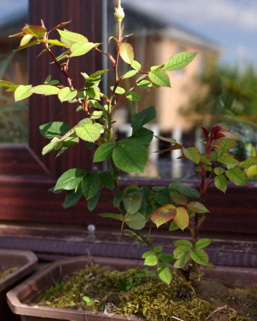 Розы под окном