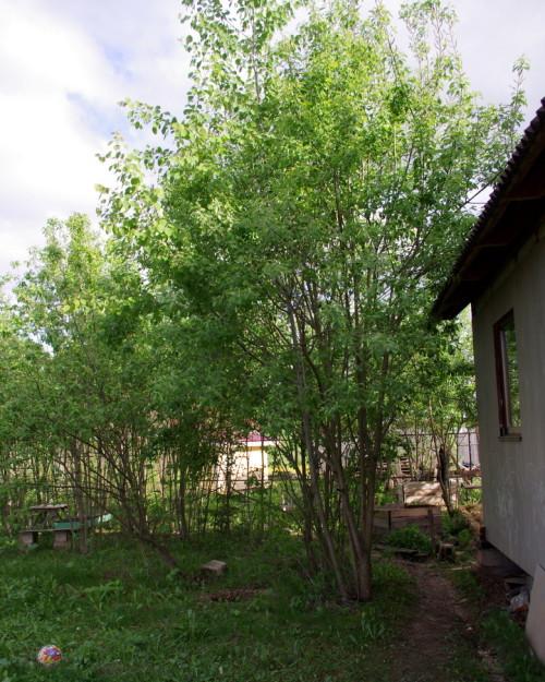 Деревья возле дома