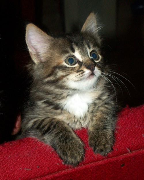 Котёнок трёхцветный 1,5 месяца
